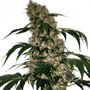 GIRL SCOUT COOKIES XTRM ® FEMINIZED