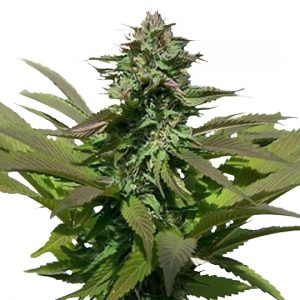 PURPLE POWER FEMINIZED